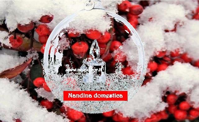 Nandina domestica - Con Manuflor, colora di un affascinante rosso il tuo Natale.... Mentre si prepara per una splendida fioritura