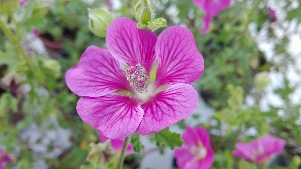 Bellissima fioritura dell' Anisodontea