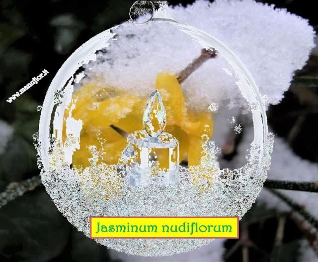 JASMINUM nudiflorum - Con Manuflor, un pensiero stupendo ☘ Inverno in fiore fino ad aprile.