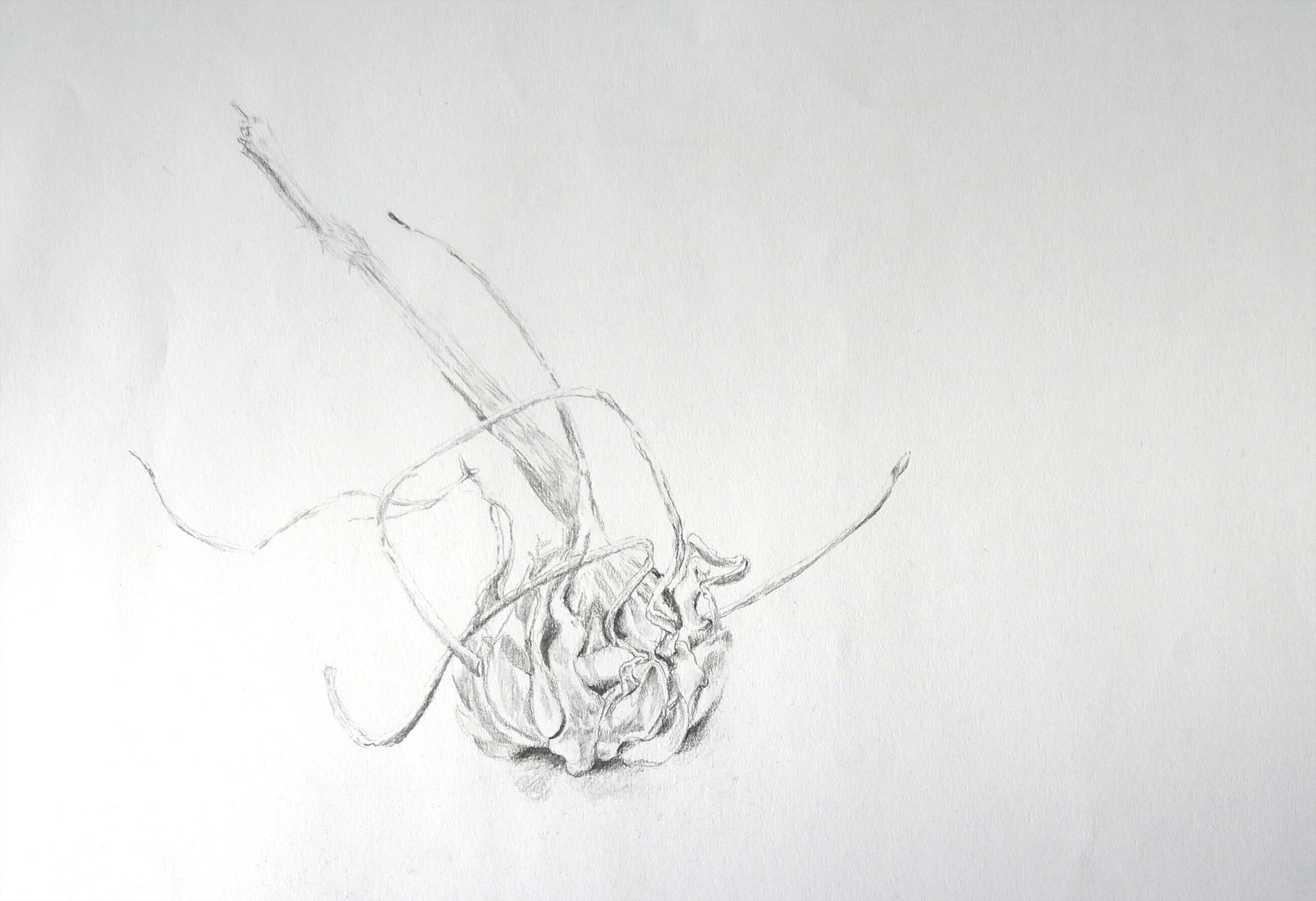 Bleistiftzeichnung Knoblauchknolle