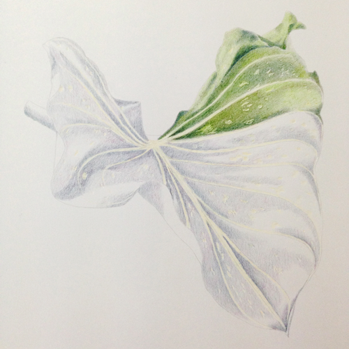 Botanical Art: Calla-Blatt_Buntstiftkolorierung II