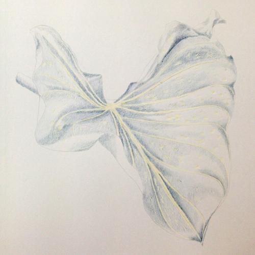 Botanical Art: Calla-Blatt_Buntstiftkolorierung I