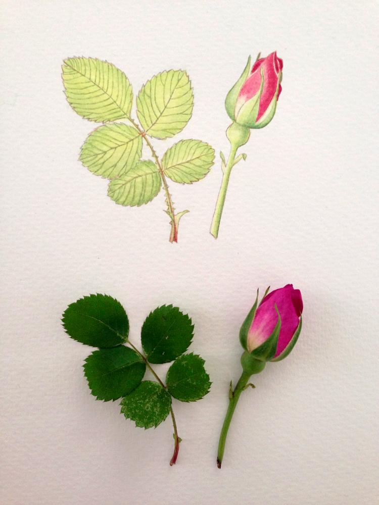 Botanical Art: Heckenrose, Bleistiftvorzeichnung, Kolorierung mit Aquarellfarben