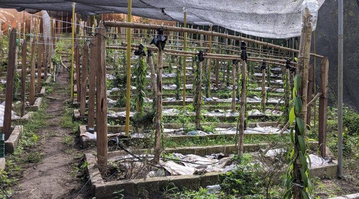 So wird die Vanille Maya in Papantla, Veracruz angebaut.