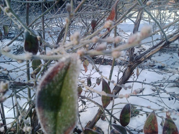 厳しい寒さに耐えるブルーベリーの木