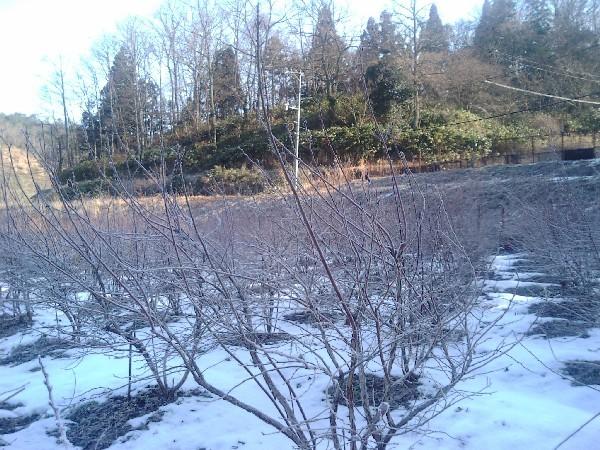雪に覆われたブルーベリーの木