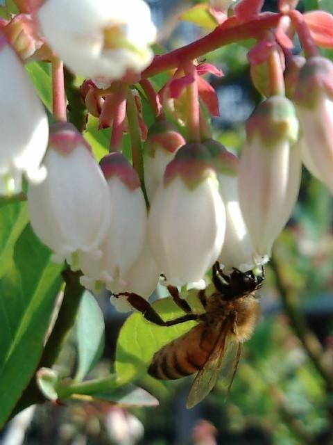 ブルーベリーの可憐な花