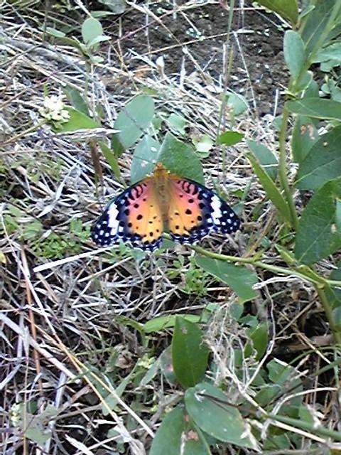 阿郷の里に舞い降りた蝶