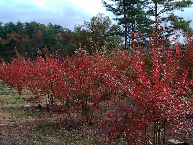 色鮮やかに紅葉したブルーベリーの木