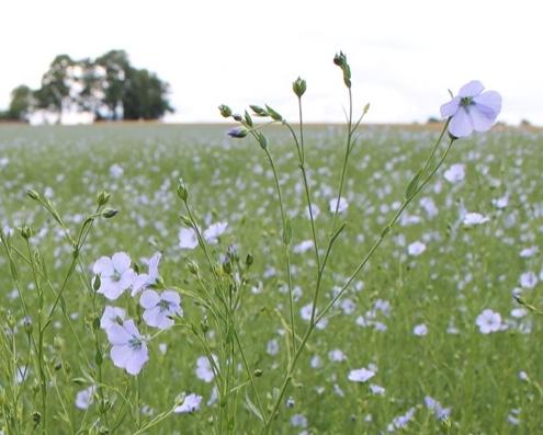 """Fleurs de lin en premier plan, au fond une ferme  de type """"clos masure"""", caractéristiques des paysages du Pays de Caux"""