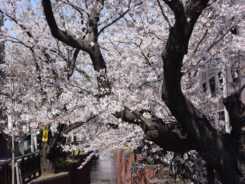 谷沢川 桜が満開です