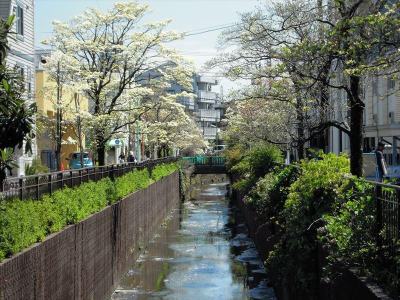谷沢川 ハナミズキが綺麗です