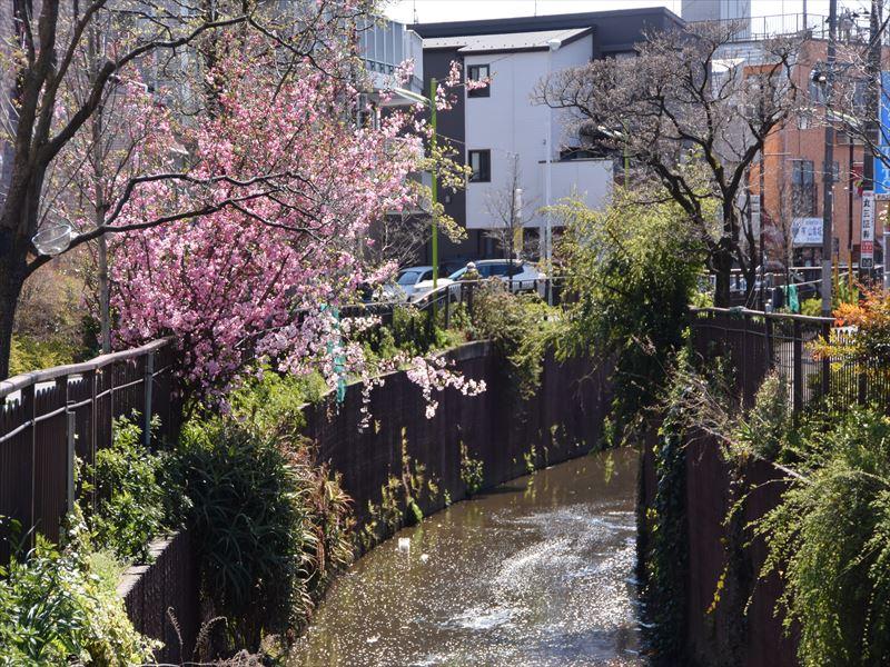 谷沢川 春には綺麗な花が咲きます