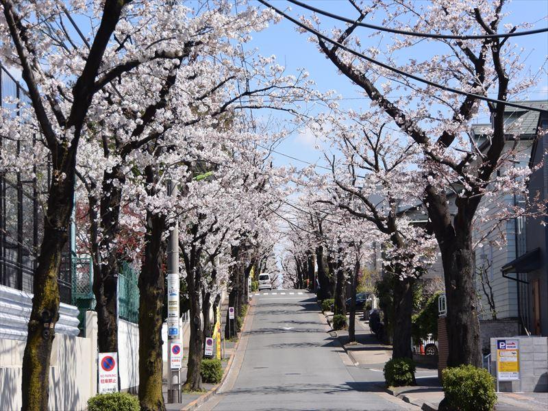神学院前の桜並木 中町は花の多い綺麗な街です
