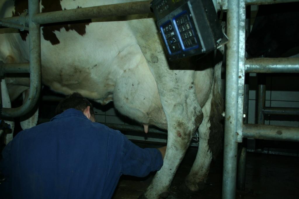 Ein strammes Euter: Gute Kühe geben im Jahr ca. 10.000 Liter Milch.