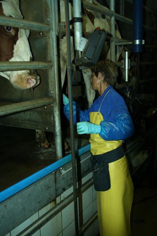 Vor und nach dem Melken werden die Euter intensiv gereinigt.