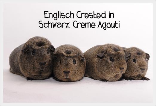 """Zusammen mit der Zucht von Sabine Strothmann """"von Hinsberg-Lipperose"""" haben wir die Englisch Crested Schwarz Creme Agouti anerkennen lassen!"""