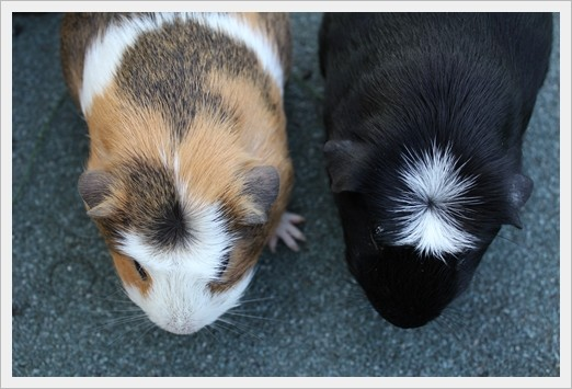 Englisch Crested versus American Crested