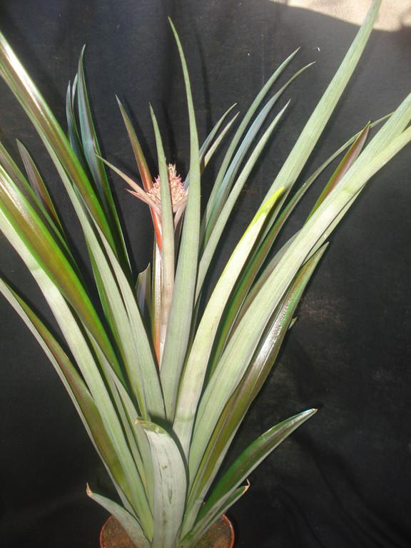 Ananás lucidus