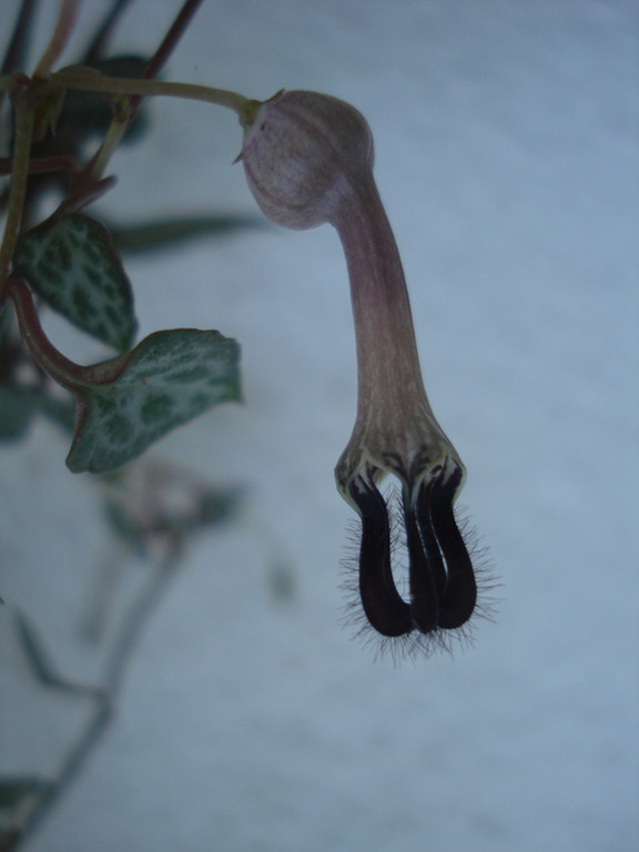 Ceropegia linearis