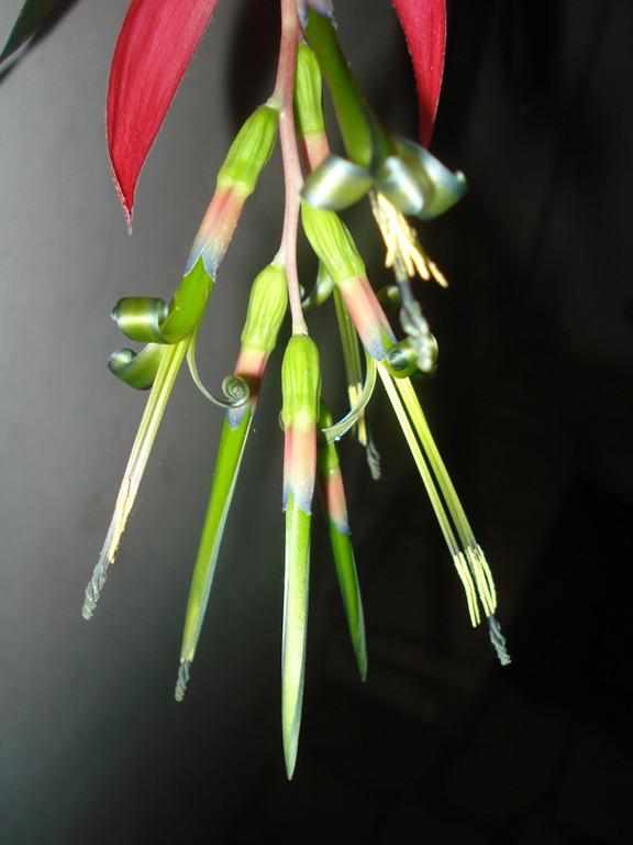 Billbergia schimperiana