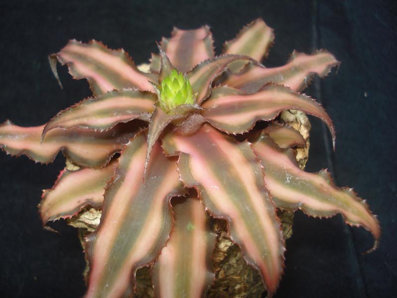 Criptanthus