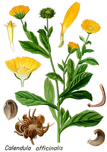 calendula officinalis ecole des herbes herboristerie pratique. Black Bedroom Furniture Sets. Home Design Ideas