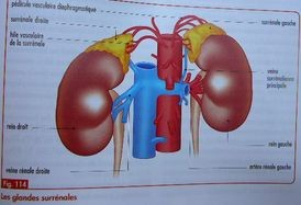 Les glandes surrénales