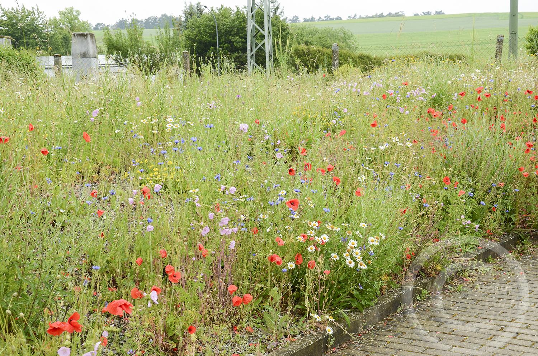 Abschnittweise Mahd: damit die Insekten ihre Futterpflanzen nicht auf einmal verlieren, wird die Wiese in zwei Etappen gemäht (10. Juni 2020)