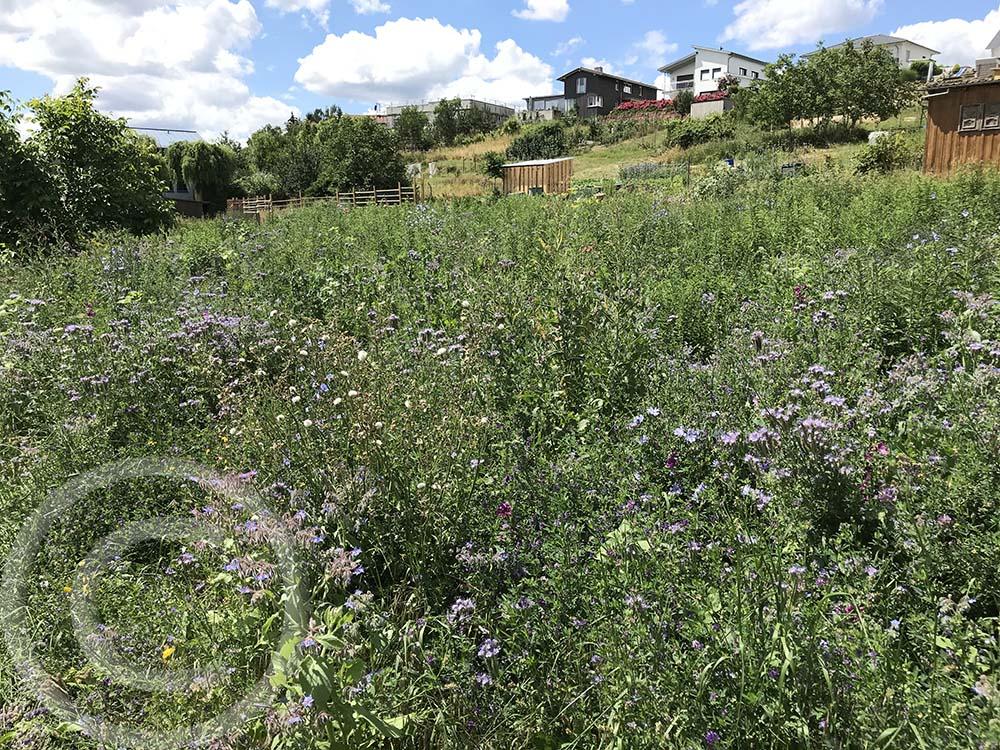 Ausgangssituation: Diese 800m² große Bienenweide wurde 4 Jahre lang immer wieder neu angelegt. Der Aufwand für die jährliche Bodenvorbereitung und Aussaat war enorm hoch, die Verunkrautung ebenfalls (11.07.2020)