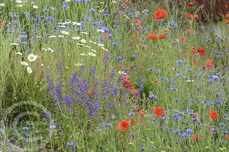 Bewunderung: viele Kunden bleiben stehen, erinnern sich an die Wiesen ihrer Kindheit oder finden die Blumen einfach nur schön (26. Mai 2020)