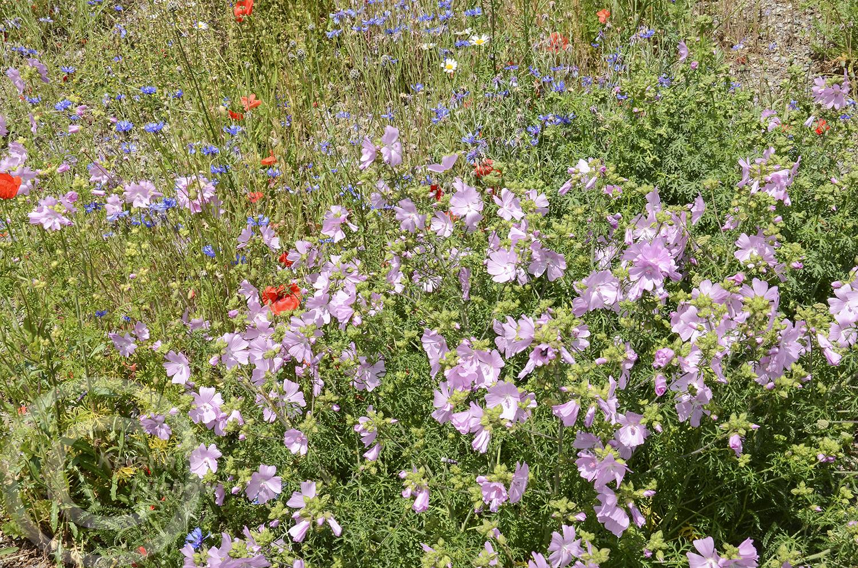 Zarte Wildblumenblüten statt grasgrüner Ausgangsfläche (12. Juni 2020)