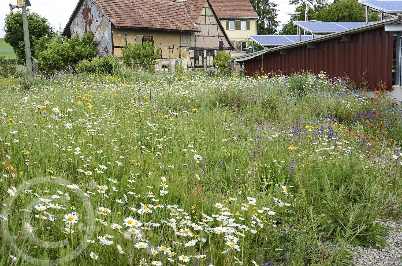 Frühling 2020: Das Frühjahr ist extrem trocken, bewässert wird nicht. Trotzdem wachsen die Wildpflanzen (26. Mai 2020)