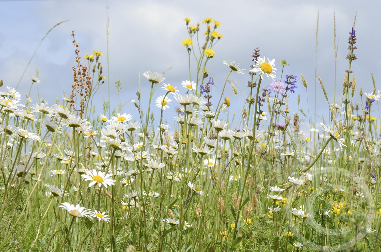Alles blüht weiß: Wiesen-Margerite (Leucanthemum ircutianum) am 26. Mai 2020