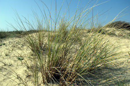 Oyat des dunes (Ammophila arenaria)