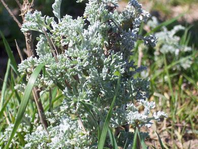Armoise maritime (Artemisia maritima)