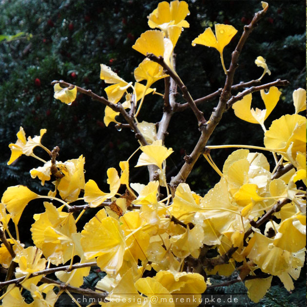 all my ginkgoleafs now are leaving my ginkgotree ...