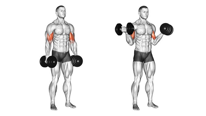 Your bicep muscles are about 2% of your total muscle mass