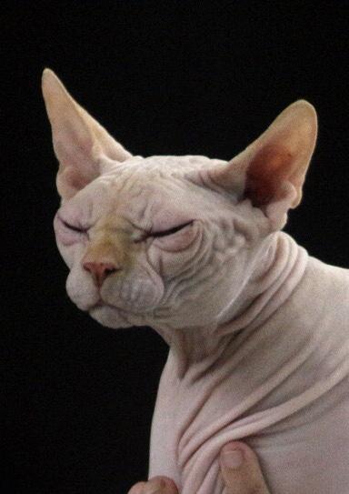 Haarlose Katze ohne Schnurrhaare, Foto: Pixabay.com