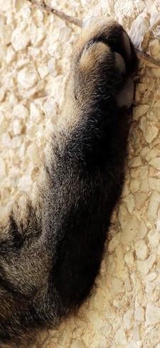 Katze, black tabby, 3 Jahre alt, komplett schwarzer Sohlenstreifen, schwarze Haare zwischen den Zehballen, Foto: Birgitta Kuhlmey, 2015