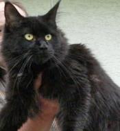 schwarze Maine Coon Katze mit geringer Weißscheckung