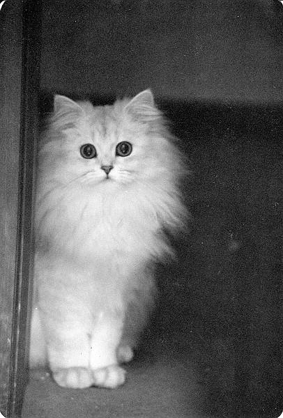 Langhaarkatze, chinchilla, Foto: Birgitta, 70er Jahre
