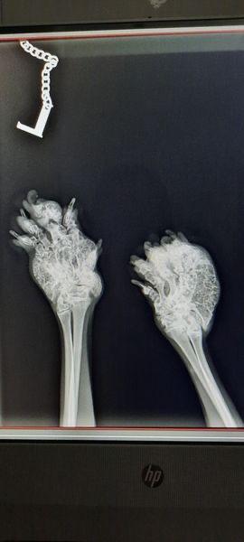 Röntgenaufnahme, Scottish Fold Kater Tom, 3,5 Jahre alt, schwer betroffen von OCD, Foto: Jana, 03/2021