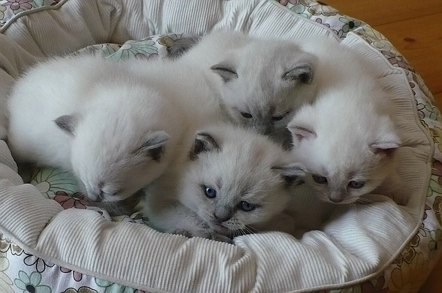 3 blue-point, 1 lilac-point (rechts) BKH Kitten, 26 Tage alt