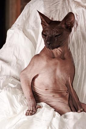 Nacktkatze, Sphynx Katze, Bildquelle: fotolia.de, (c) montersparrow