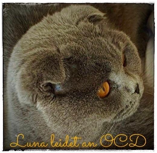 Scottish Fold Katze Luna - mit 1,5 Jahren schwer an OCD erkrankt, Foto: ©Janina, 05/2020