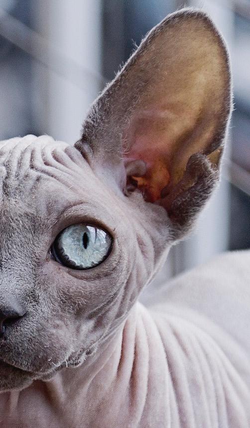haarlose Katze, Bildquelle: pixabay.com