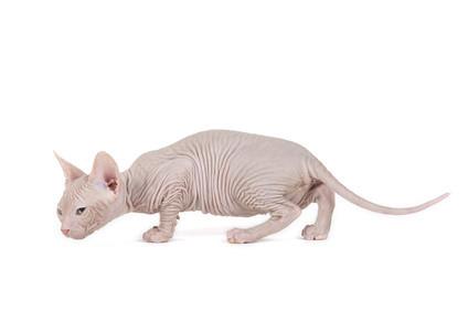 Bambino Katze, Nacktkatze mit verkürzten Beinen, Bildquelle: fotolia.de (c)eSchmidt