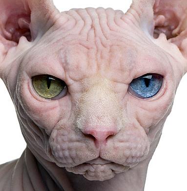 Foto: Nacktkatze, Sphynx-Katze, ohne Vibrissen, fotolila.com, (c) Eric Ileesée