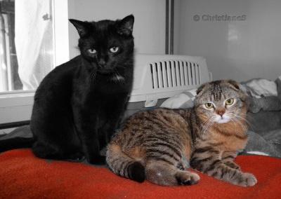 Bild: (c) www.rassekatzen-im-tierheim.de, Bild (c) Christiane Sandner, Tierschutzverein Darmstadt. - Zu eng anliegende Ohren lassen keine Schallwellen durch